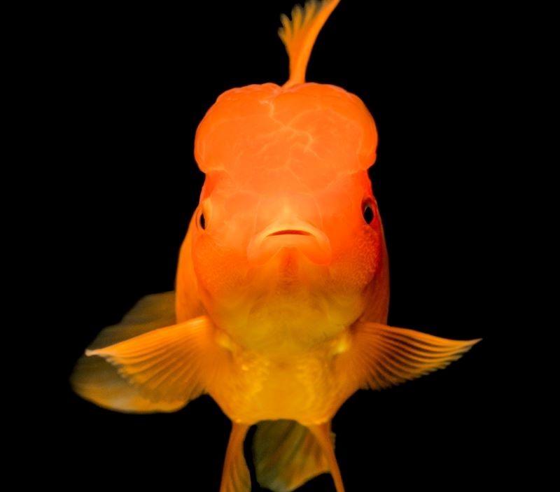 raspon-paznje-zlatna-ribica